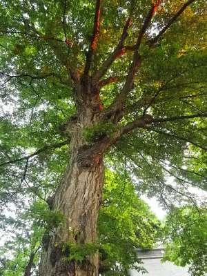 成増菅原神社(東京都板橋区)の樹木